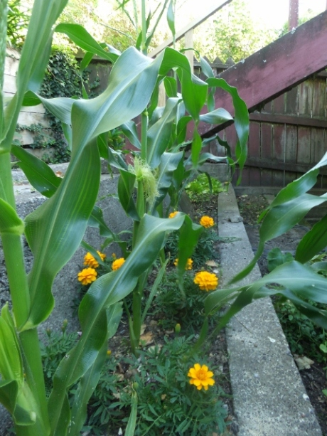 Corn ears and silk