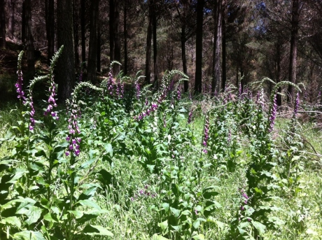 field of fox gloves